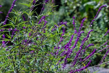 Verbena, una flor morada en contraste al pastizal verde.