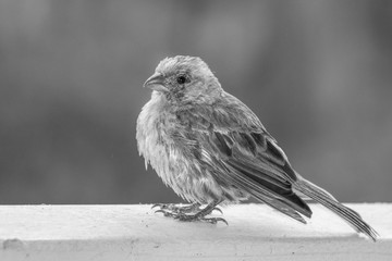 Close Up Black and White Details in House Finch Bird with Fluffed Feathers