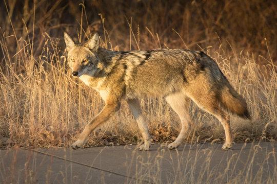Sidewalk Coyote