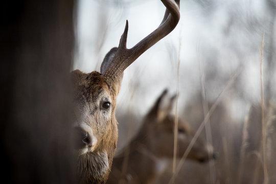 Peak-a-boo Buck