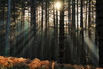 Wall Murals Forest Rays Of Sun Shining Through Pinewood In Etna Park, Sicily