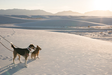 Two dogs on a sand dune