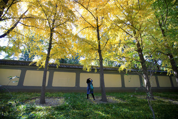 A woman takes pictures under ginkgo trees on a late autumn day in Beijing