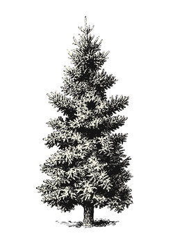 retro vintage vector illustration of a classic fir tree or Christmas tree without decoration, also great as an outdoor / landscape design element