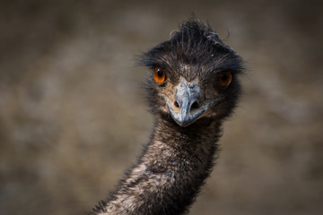 Poster Struisvogel emu bird head , portrait of emu bird