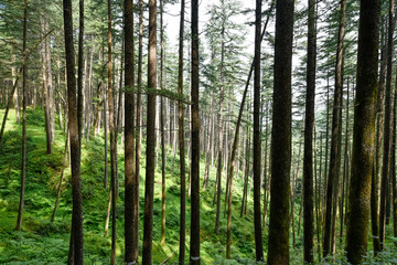 Mountain pine tree group