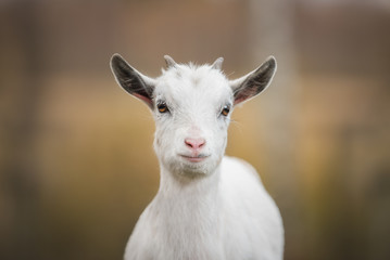 Little white goat