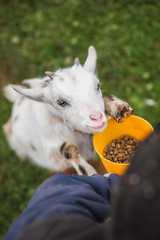 Little  goat begging a food