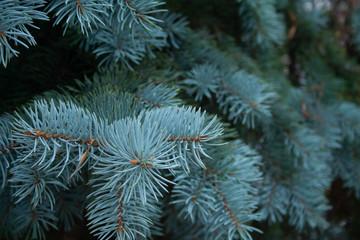 Obraz Blue spruce - fototapety do salonu