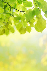 Green leaves sunlight background