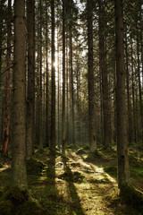 Sunlight streaming through a autumn pine forest