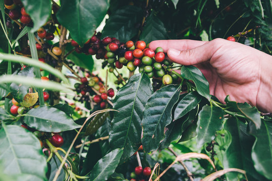 Arabicas Coffee Tree on Coffee tree at Doi Chaang in Thailand, Coffee bean Single origin words class specialty.vintage nature background