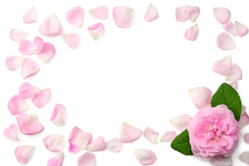 Pink rose flowers isolated on white background. top view