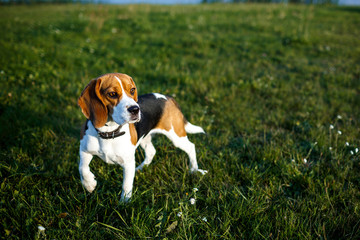 Beautiful dog beagle tricolor with big eyes
