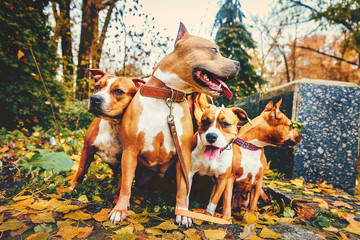four staffordshire terriers. Family of four dogs sitting in nature in autumn