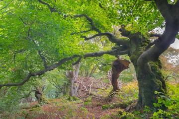 Alte Rotbuchen (Fagus sylvatica), abgebrochener Hauptast, Naturdenkmal Hutewald Halloh, bei Albertshausen, Naturpark Kellerwald-Edersee, Hessen, Deutschland