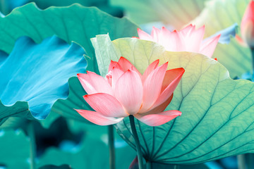 Fotorollo Lotosblume blooming lotus flower