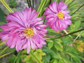 秋明菊/Japanese anemone 2