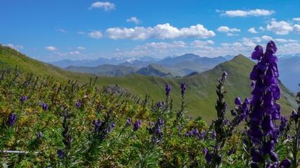 Wall Mural - pretty purple flowers in a wildflower meadow in a green summer mountain landscape in the Swiss Alps