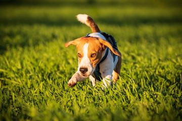 A Beagle dog running in a grass field in sunset towards camera