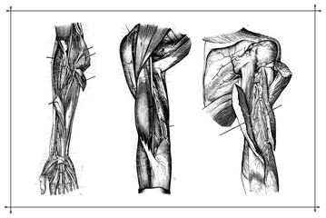 Human Arm Muscle Vein Anatomy Black & White Vector Illustration with Boarder