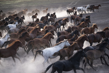 Wild horses group running on the dusty field. Wild mustang horses running with rise clouds of dust. Freedom photo.