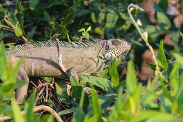 Green Iguana in the Pantanal