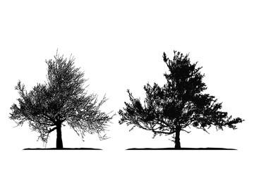 Realistic tree silhouette .Tamarix gallica on white background(Vector illustration).