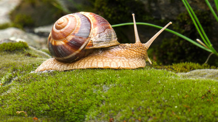 Snail Achatina fulica moves on the moss.