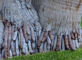 exposed roots of areca palm trees, look like fingers