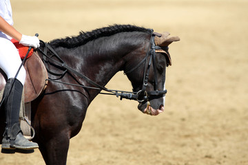 Side view portrait close up of a beautiful sport horse under saddle on natural background, equestrian sport