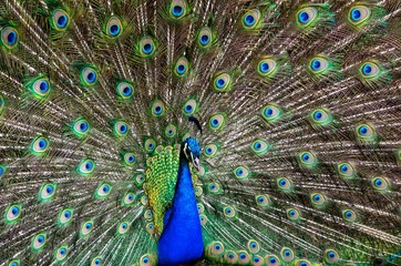 Peacock in natural conditions. One can see a beautiful bird coloring.