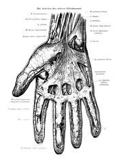 Human Hand Skeleton Vein Anatomy Black & White Illustration