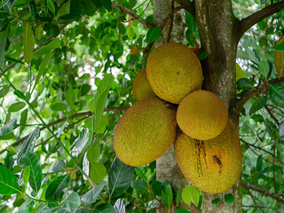 Group of jackfruit on tree.