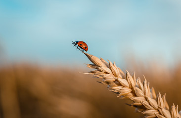 Golden Wheat Ear with Ladybug.