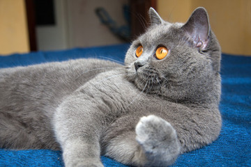 Beautiful blue British cat with orange eyes lying on the blue sofa looking to the left, blue British cat close-up portrait.