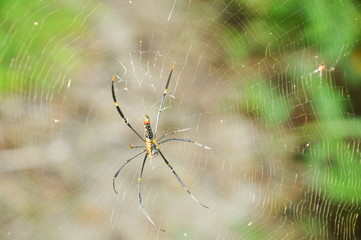 batik golden spider crawling on net waiting for victims in forest