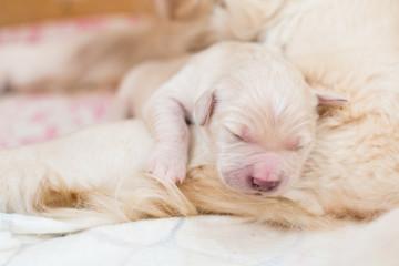 Portrait of cute Sleeping white newborn puppy of golden retriever