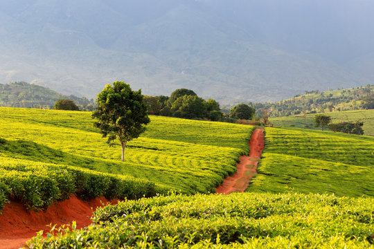 Tea crops in the south of Malawi