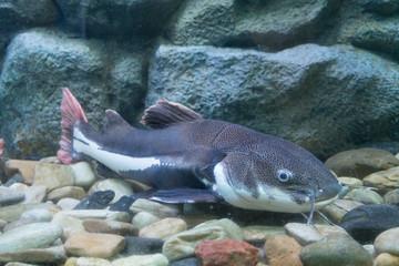 Engraved catfish in aquarium