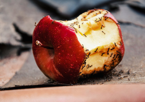 Apple.ants eating red apple. Apple with ants.