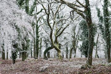 Entrelacement de deux arbres en hiver dans une forêt de Moselle