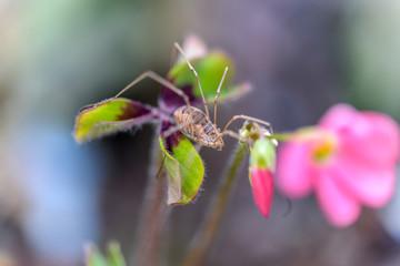 Cousine de l'araignée voici un faucheux de Canestrini avec ses longues pattes