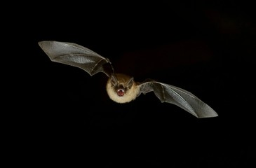 Bat flying at night sky