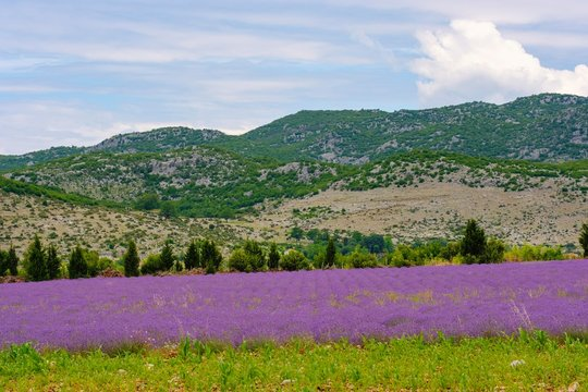 Lavender field (Lavandula officinalis), near Koplik, Qark Shkodra, Albania, Europe