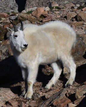 Alaskan Doll Sheep