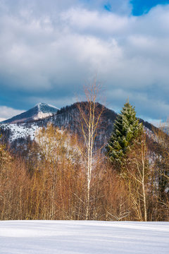 lovely winter scenery in mountains.  snowy slope with row of birch and spruce trees on a cloudy day