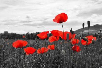 Foto op Canvas Poppy Guts beautiful poppies on black and white background. Flowers Red poppies blossom on wild field. Beautiful field red poppies with selective focus. Red poppies in soft light