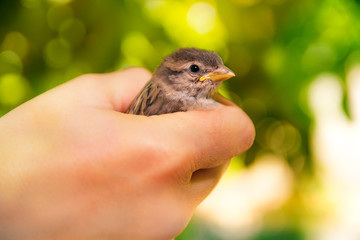Sparrow in hands on a blurred green background