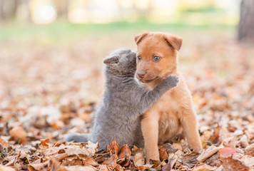 Cute kitten hugs and kisses a stray puppy on fallen autumn leaves